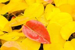 Красные лист груши на желтых листьях Стоковые Изображения RF