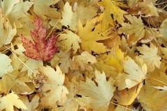 Красные лист на желтых лист Стоковое Изображение