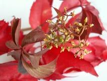 Красные лист лозы Стоковое фото RF