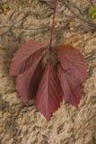 Красные лист осени одичалой виноградины Стоковая Фотография RF