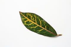 Красные лист Croton Стоковые Фотографии RF