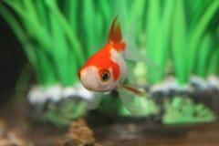 Красные и белые рыбы в шаре зеленого растения стоковая фотография