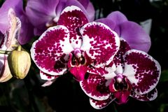 Красные и белые тропические цветения цветка орхидеи cymbidium Стоковое Изображение RF