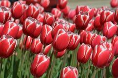Красные и белые тюльпаны Стоковые Фото