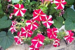 Красные и белые цветки петуньи в саде Стоковые Фото
