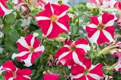 Красные и белые цветки петуньи в саде Стоковые Изображения