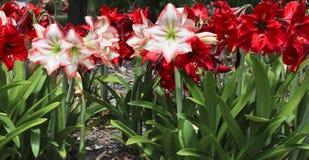 Красные и белые цветки hippeastrum Стоковые Изображения RF