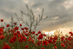 Красные и белые маки против ясного неба Стоковая Фотография