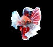 Красные и белые сиамские воюя рыбы, рыбы betta изолированные на blac Стоковая Фотография RF