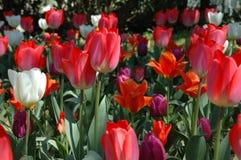 Красные и белые тюльпаны Стоковое Изображение