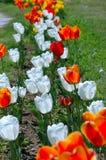 Красные и белые тюльпаны Стоковая Фотография