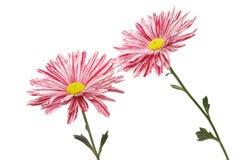 Красные и белые хризантемы Стоковое Изображение RF