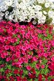 Красные и белые цветки петуньи Стоковое фото RF