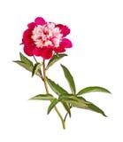 Красные и белые цветок пиона ветрениц-формы, стержень и листья на whit Стоковая Фотография
