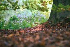 Красные и белые ядовитые toadstool или гриб вызвали Мухомор Стоковые Изображения