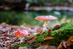 Красные и белые ядовитые toadstool или гриб вызвали Мухомор Стоковые Фото