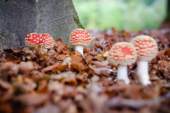 Красные и белые ядовитые toadstool или гриб вызвали Мухомор Стоковая Фотография RF