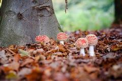 Красные и белые ядовитые toadstool или гриб вызвали Мухомор Стоковое Изображение RF