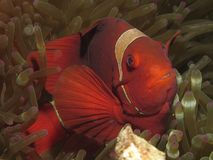 Красные и белые anemonefish Стоковые Изображения RF
