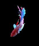 Красные и голубые сиамские воюя рыбы, рыбы betta изолированные на черноте Стоковые Фотографии RF