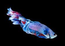 Красные и голубые сиамские воюя рыбы, рыбы betta изолированные на черноте Стоковое фото RF