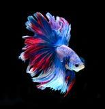 Красные и голубые сиамские воюя рыбы, рыбы betta изолированные на черноте Стоковая Фотография
