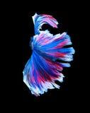 Красные и голубые сиамские воюя рыбы, рыбы betta изолированные на черноте Стоковая Фотография RF