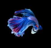 Красные и голубые сиамские воюя рыбы, рыбы betta изолированные на черноте Стоковое Изображение