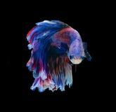 Красные и голубые сиамские воюя рыбы, рыбы betta изолированные на черноте Стоковые Фото