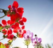 Красные и голубые цветки Стоковые Изображения RF