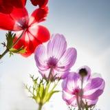 Красные и голубые цветки Стоковое фото RF