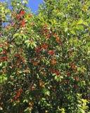 Красные и желтые вишни на дереве в лете Стоковое Изображение
