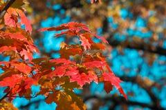 Красные и желтые кленовые листы на предпосылке голубого неба запачканная предпосылка День осени Золотистая осень Стоковая Фотография
