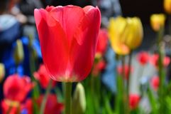 Красные и желтые тюльпаны на фестивале времени тюльпана в Голландии Мичигане Стоковое фото RF