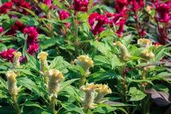 Красные и желтые цветки cockscomb Стоковые Изображения RF