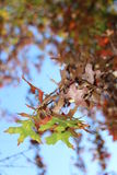 Красные и желтые листья дуба осени Стоковое Изображение