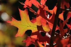 Красные и желтые листья дуба осени Стоковые Изображения RF