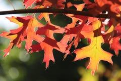 Красные и желтые листья дуба осени Стоковые Изображения