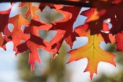 Красные и желтые листья дуба осени Стоковое Изображение RF
