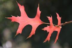 Красные и желтые листья дуба осени Стоковые Фото