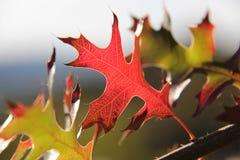 Красные и желтые листья дуба осени Стоковая Фотография