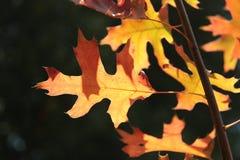 Красные и желтые листья дуба осени Стоковая Фотография RF