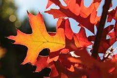 Красные и желтые лист дуба осени Стоковое Изображение RF