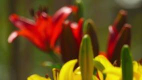 Красные и желтые лилии акции видеоматериалы
