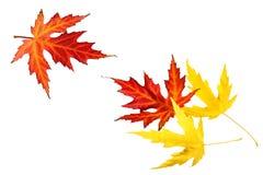 Красные и желтые кленовые листы осени Стоковые Изображения
