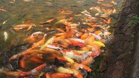 Красные и желтые рыбы сток-видео