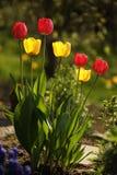 Красные и желтые тюльпаны на заходе солнца Стоковая Фотография