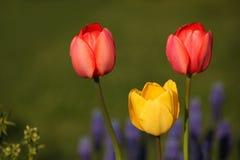 Красные и желтые тюльпаны на заходе солнца Стоковые Изображения