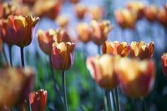 Красные и желтые тюльпаны полностью… Стоковое Изображение RF