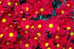 Красные и желтые цветки с цветнем Стоковое Фото